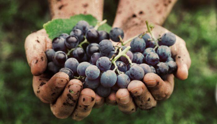 Восхитительный Виноград
